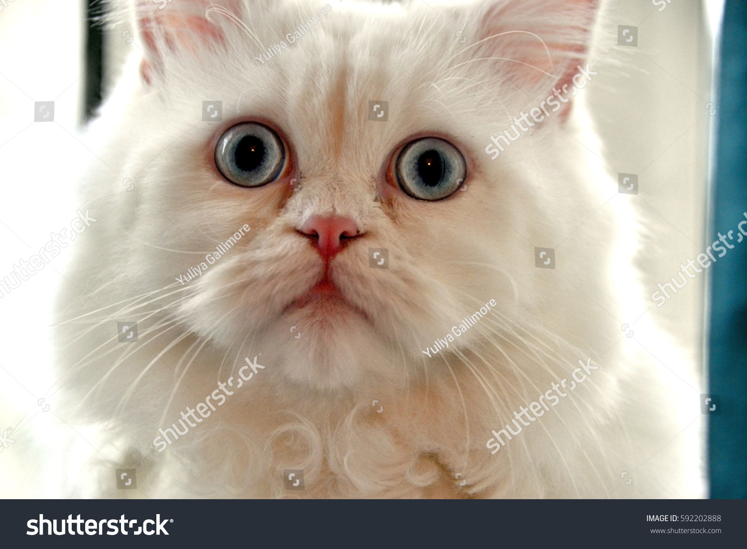 Persian Maine Coon Mix House Cat Stock Shutterstock