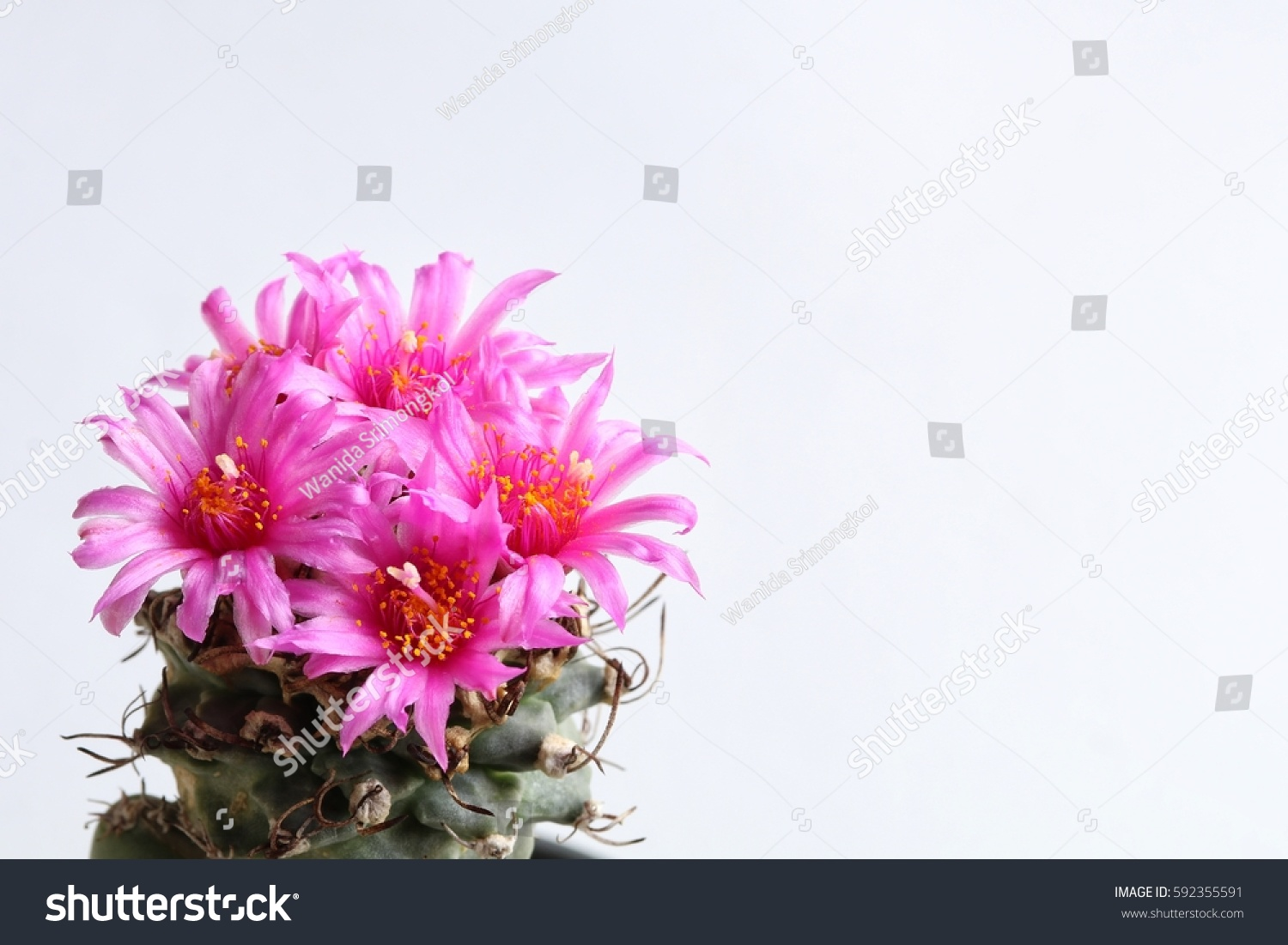 Bouquet Pink Cactus Flower Species Turbinicarpus Stock Photo ...