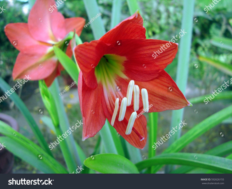 April lily flower garden stock photo royalty free 592626155 april lily flower in garden izmirmasajfo