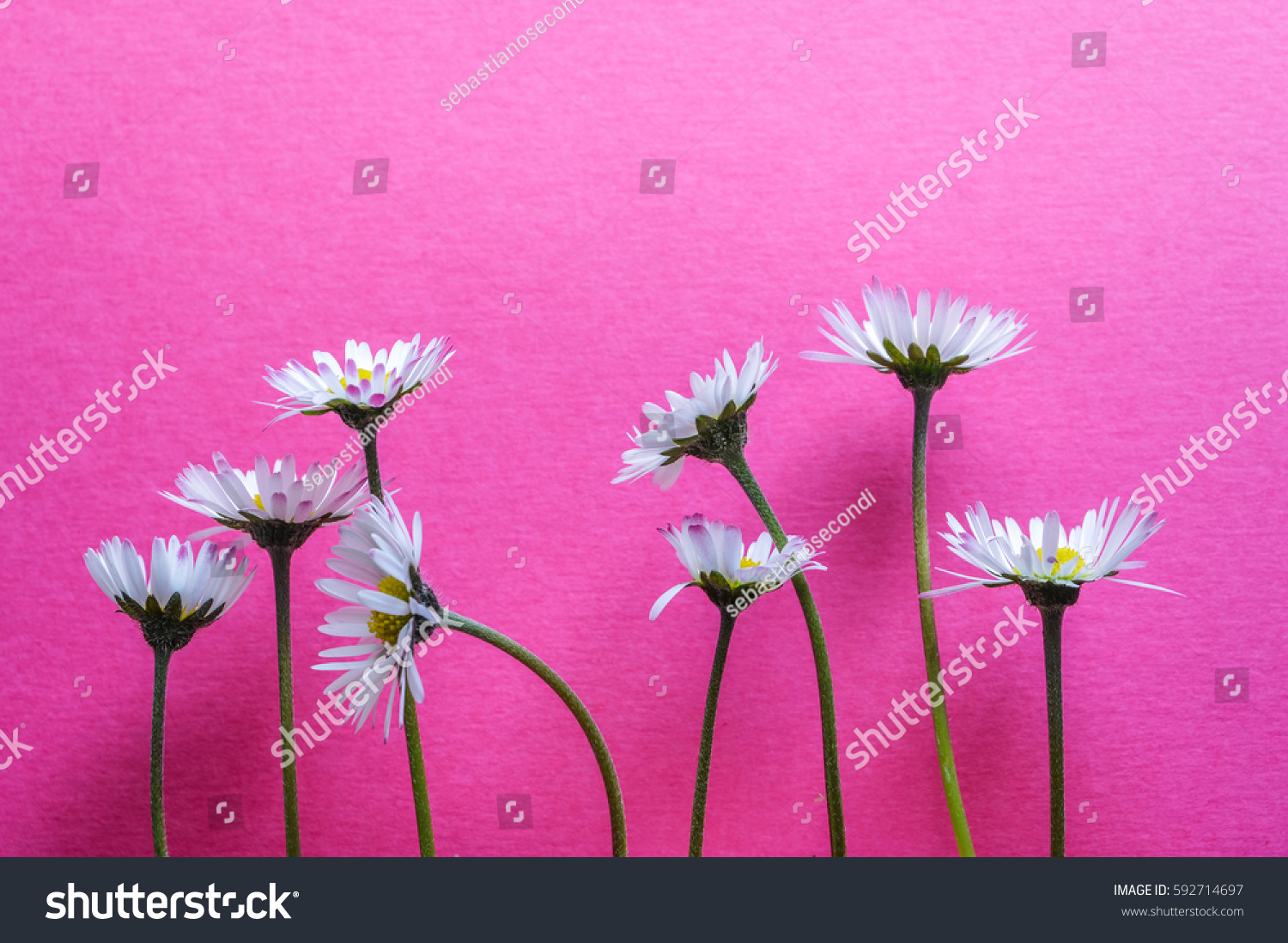 Group little daisy flowers on bright stock photo edit now group of little daisy flowers on bright pink textured background closeup izmirmasajfo