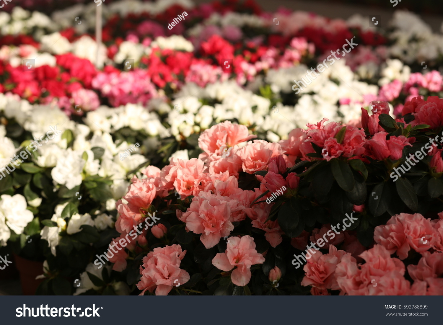 Beautiful Pictures Plants Flowers Stock Photo 592788899 Shutterstock