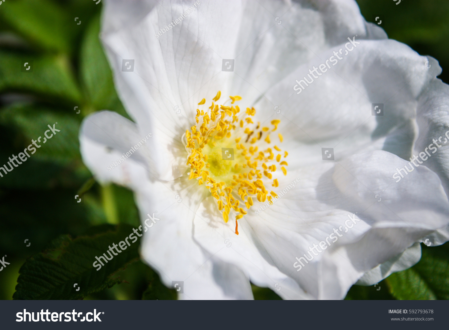 Beautiful White Flower Yellow Stamen Stock Photo Edit Now