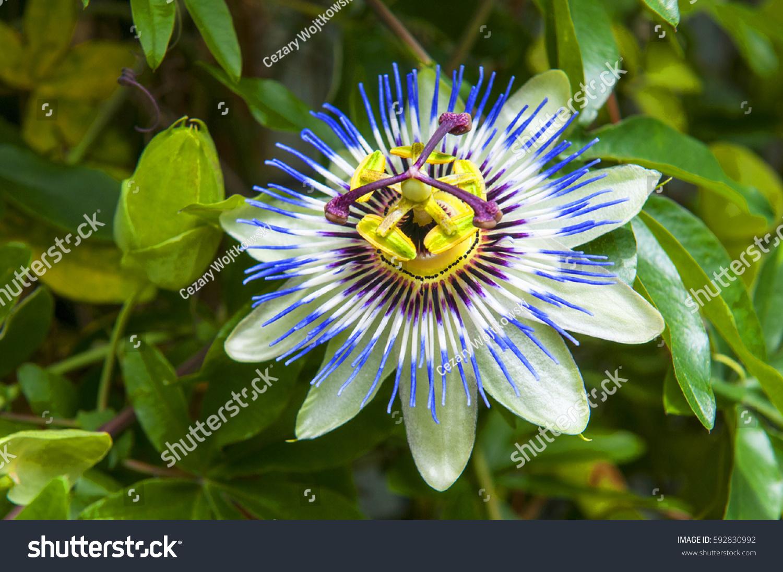 Passiflora Caerulea Blue Passionflower Bluecrown Passionflower Stock