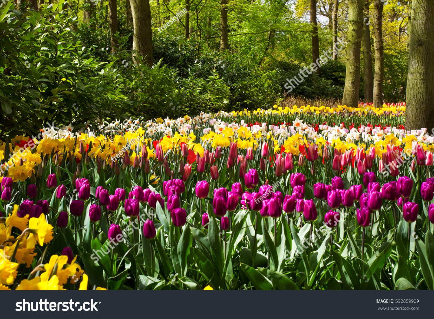 Colorful Tulip Flowers Spring Park Flower Stock Photo Edit Now