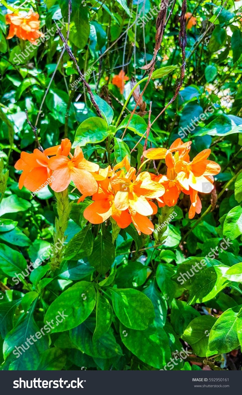 Exotic Orange Flower South East Asia
