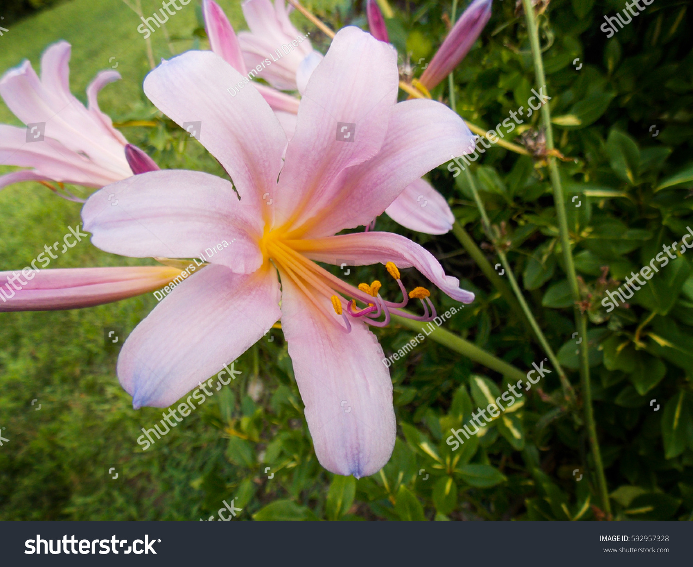 Pale pink magic lily lycoris squamigera stock photo edit now pale pink magic lily lycoris squamigera izmirmasajfo