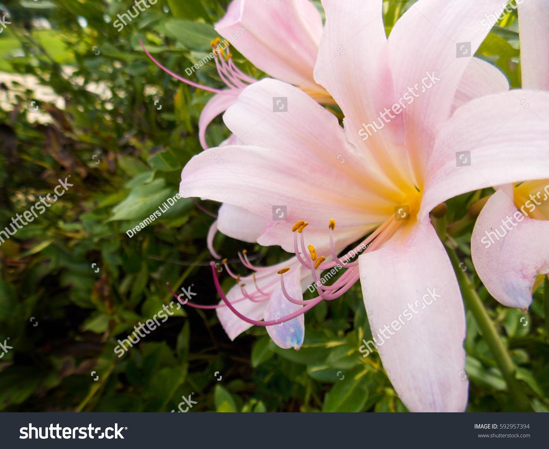 Pale pink magic lily lycoris squamigera stock photo royalty free pale pink magic lily lycoris squamigera izmirmasajfo