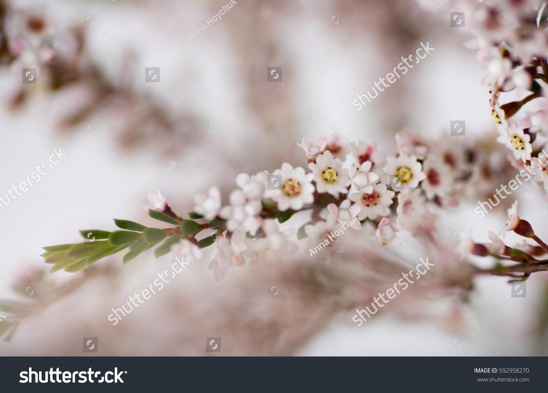 Calycina Or Bulk Heather Flowers On White Background Ez Canvas