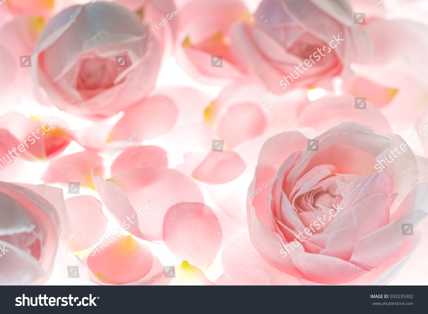 Pale Pink Rose Flower Blossoms Petals Stock Photo Royalty Free