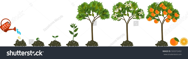 Plant Growing Seed Orange Tree Life Stock Vector 593372492