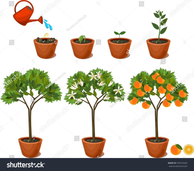 Plant Growing Seed Orange Tree Life Stock Vector 593372633