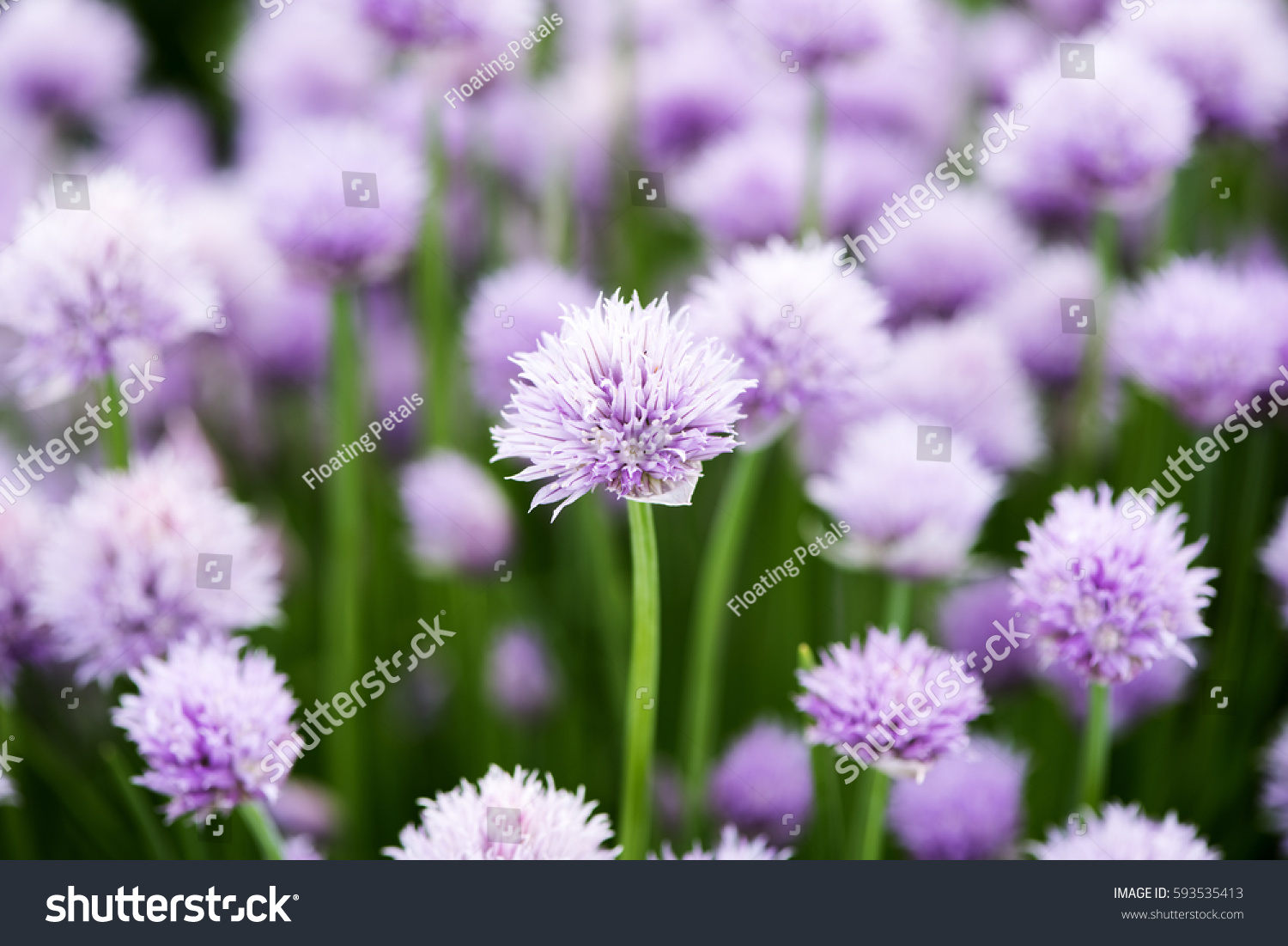 Beautiful flower in nature and as a background flowering chive id 593535413 izmirmasajfo