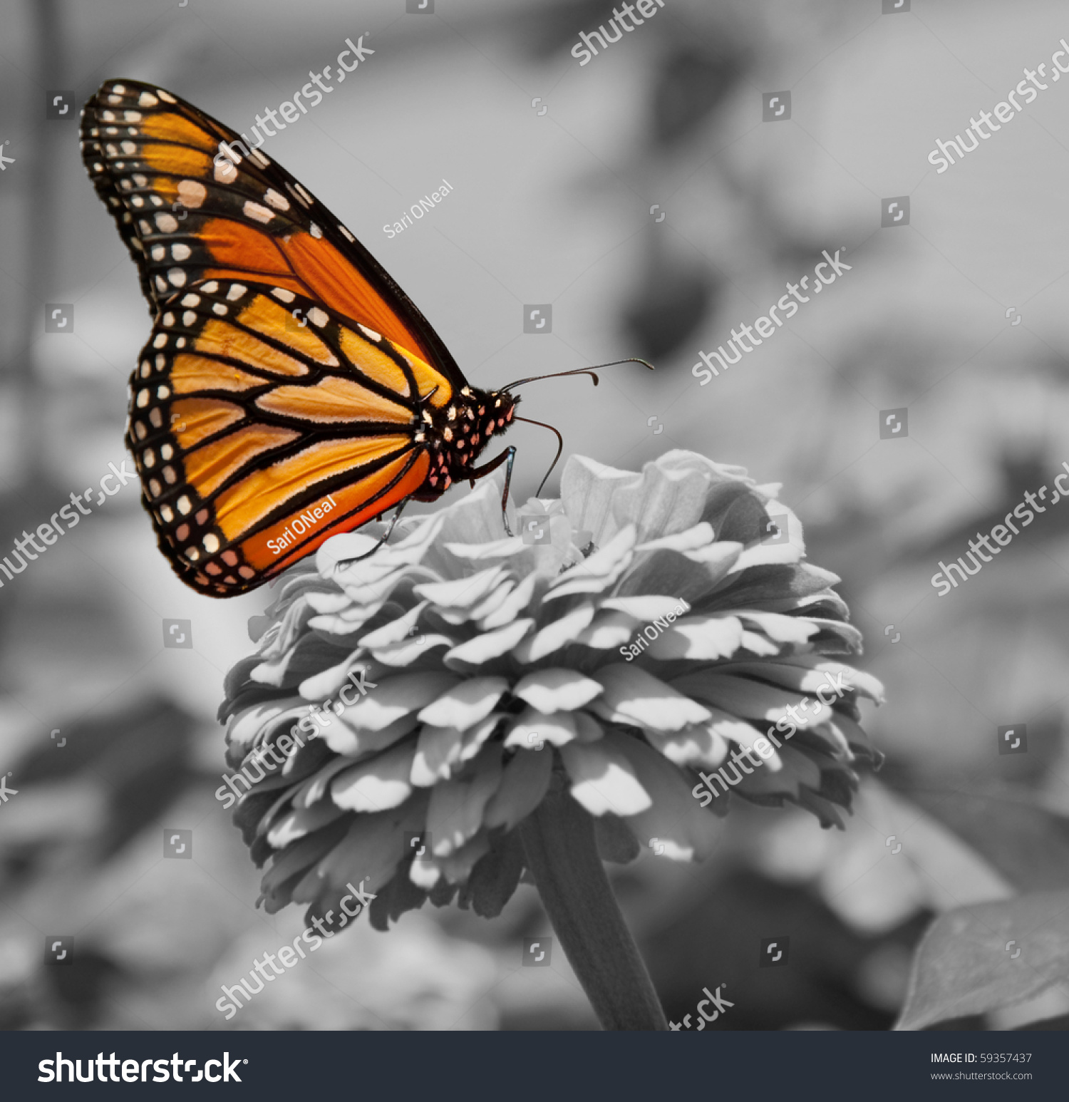 monarch butterfly color on black white stock photo 59357437