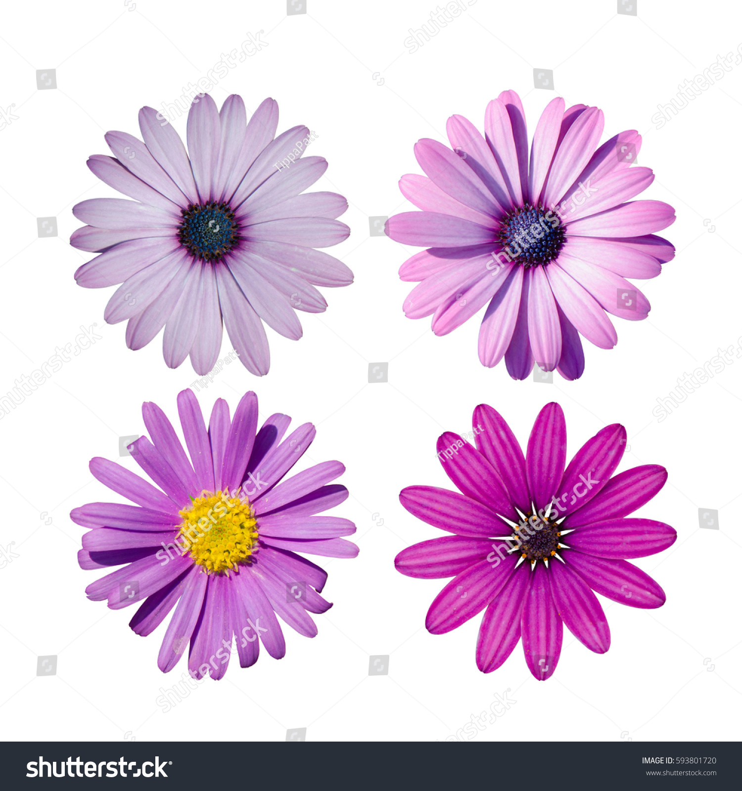 Set of pink purple chrysanthemum flowers daisy family isolated on id 593801720 izmirmasajfo