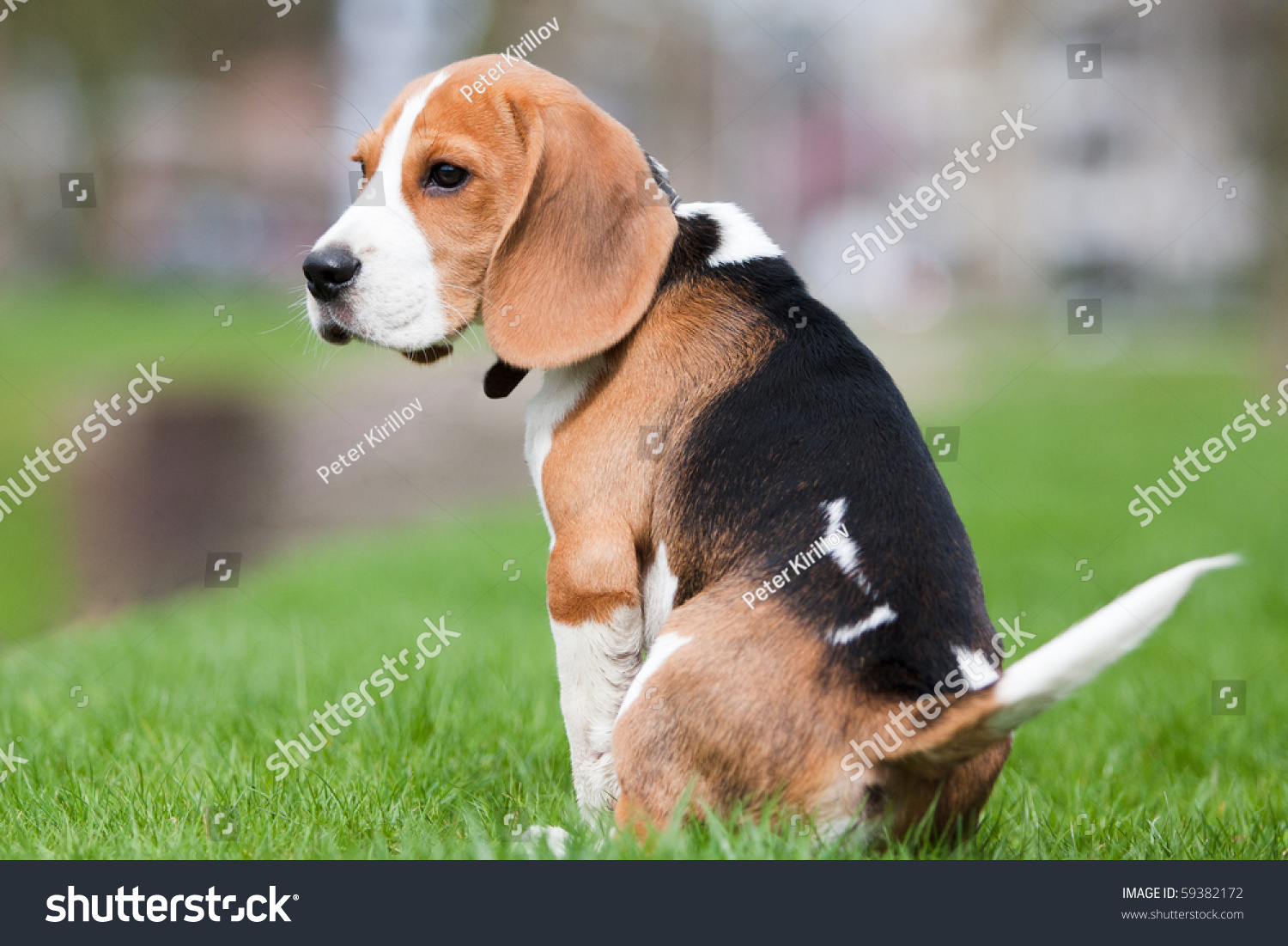 Sad Beagle Puppy Small dog, beagle puppy sitting and looking sad on ...