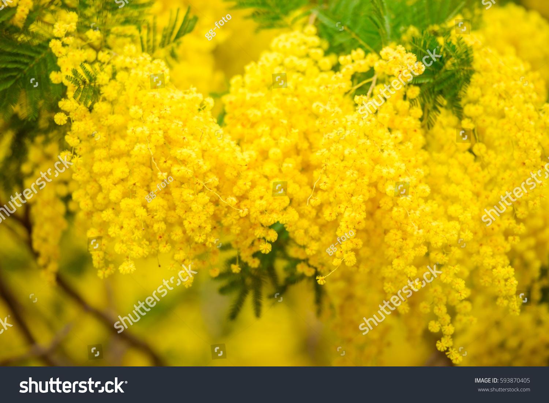 Mimosa Yellow Spectacular Blossom On Blue Sky Ez Canvas
