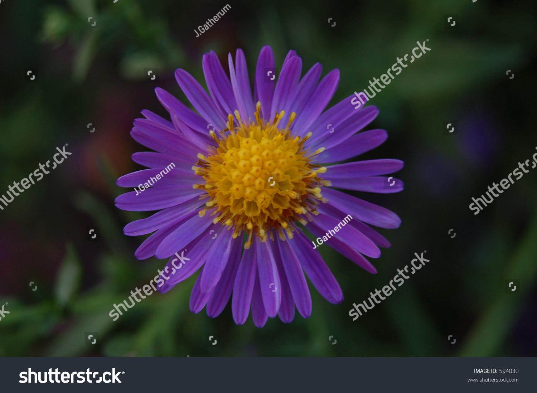 purple flower with yellow center stock photo   shutterstock, Beautiful flower