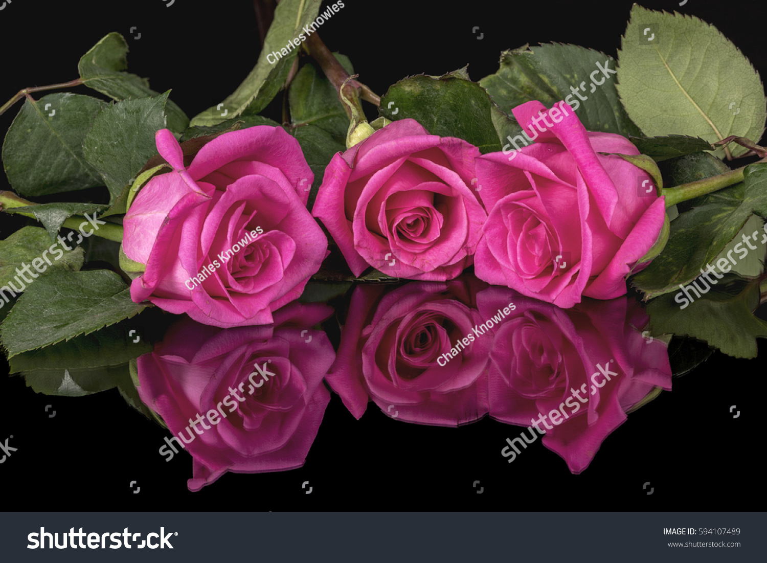 Fresh Natural Roses Pink Green Stock Photo 594107489 - Shutterstock