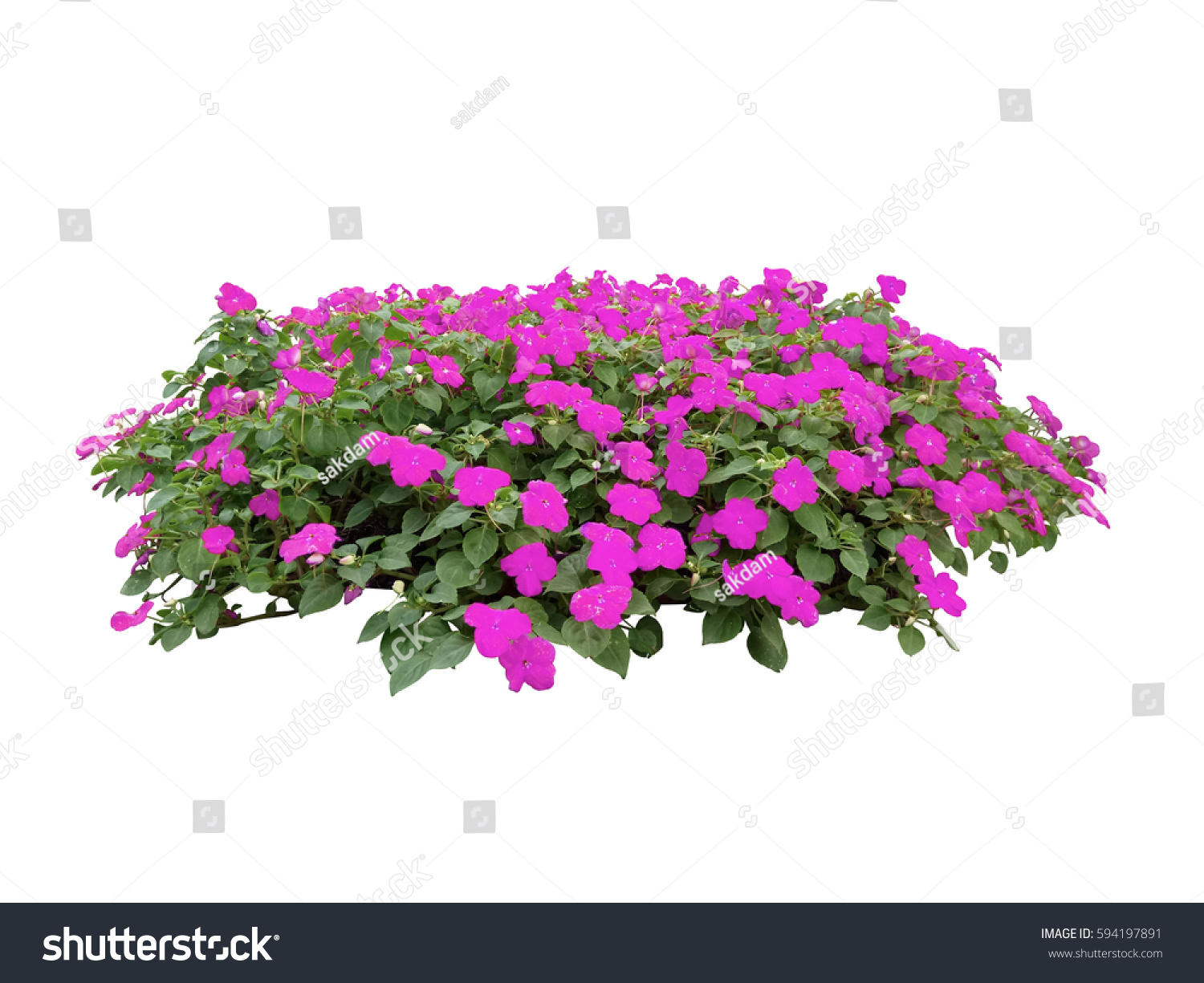 Pink Flower Bush Tree Isolated Whited Stock Photo Royalty Free