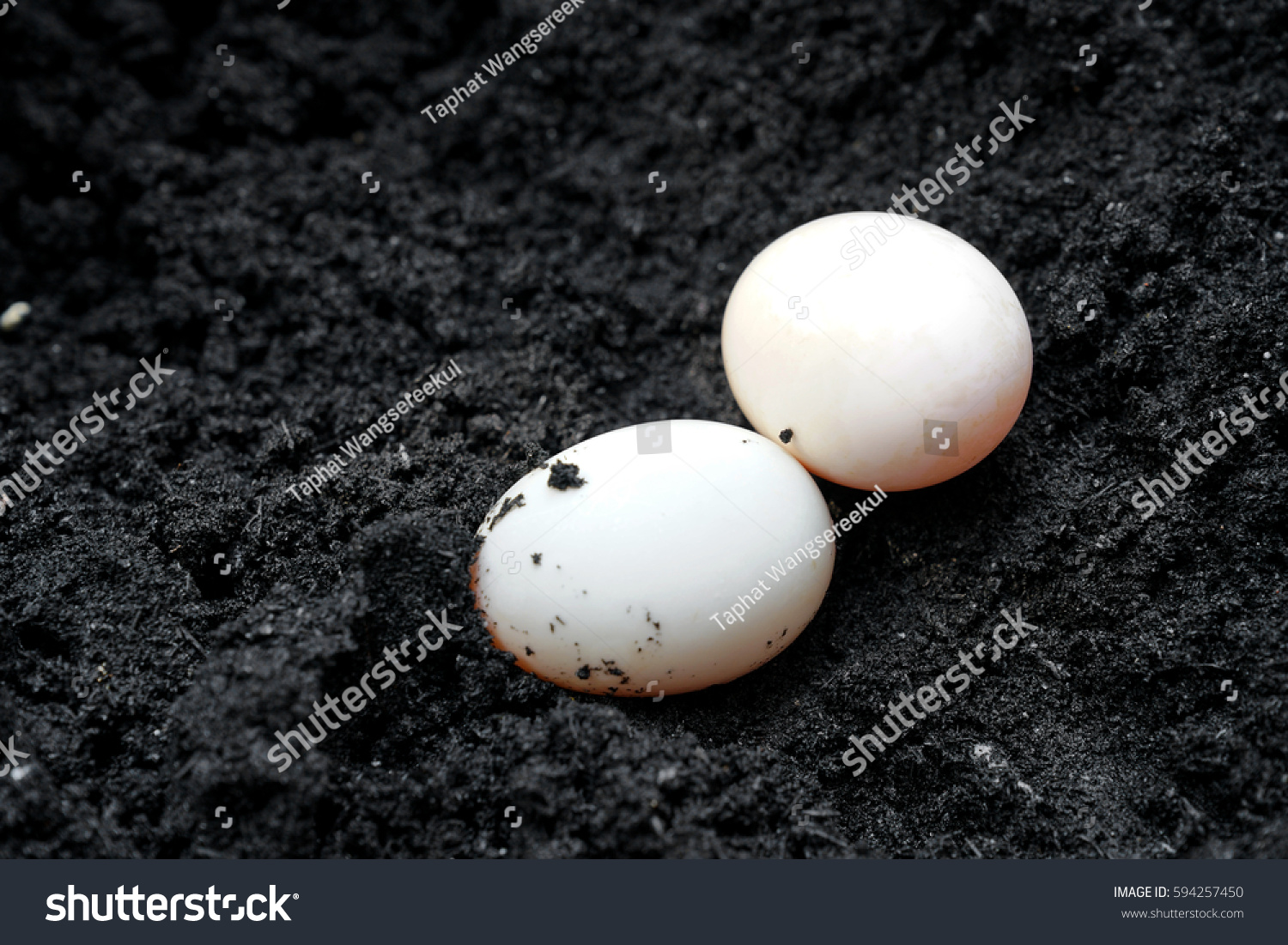 Muscovy Duck Eggs On Rice Hull Stock Photo 594257450 ...