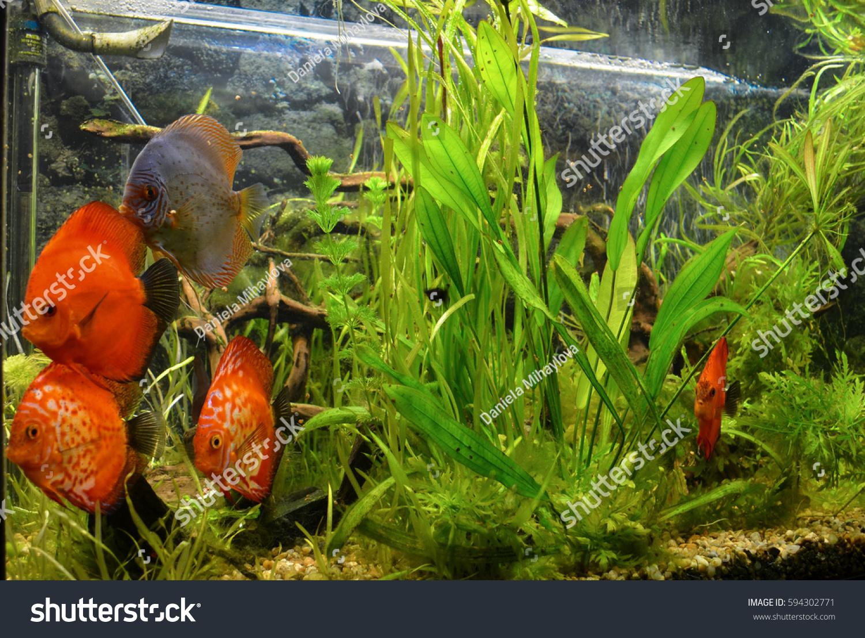 Red Blood Parrot Cichlid Aquarium Plant Stock Photo (Royalty Free ...