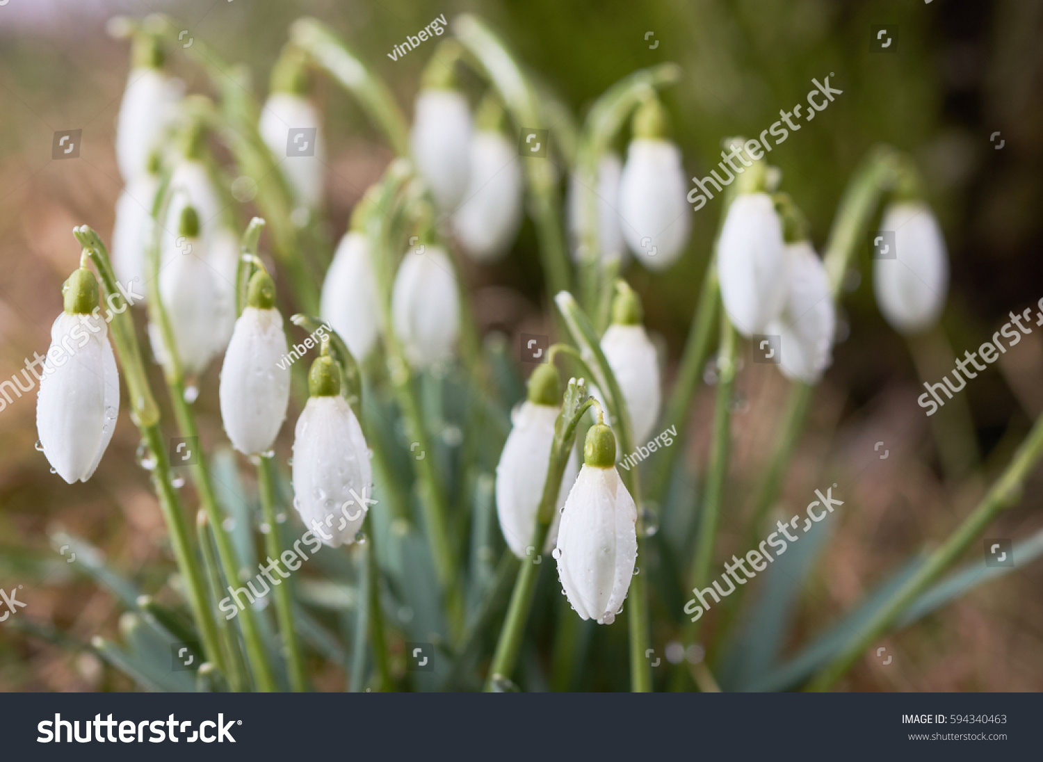 First Flowers Spring White Snowdrops Drops Stock Photo Edit Now