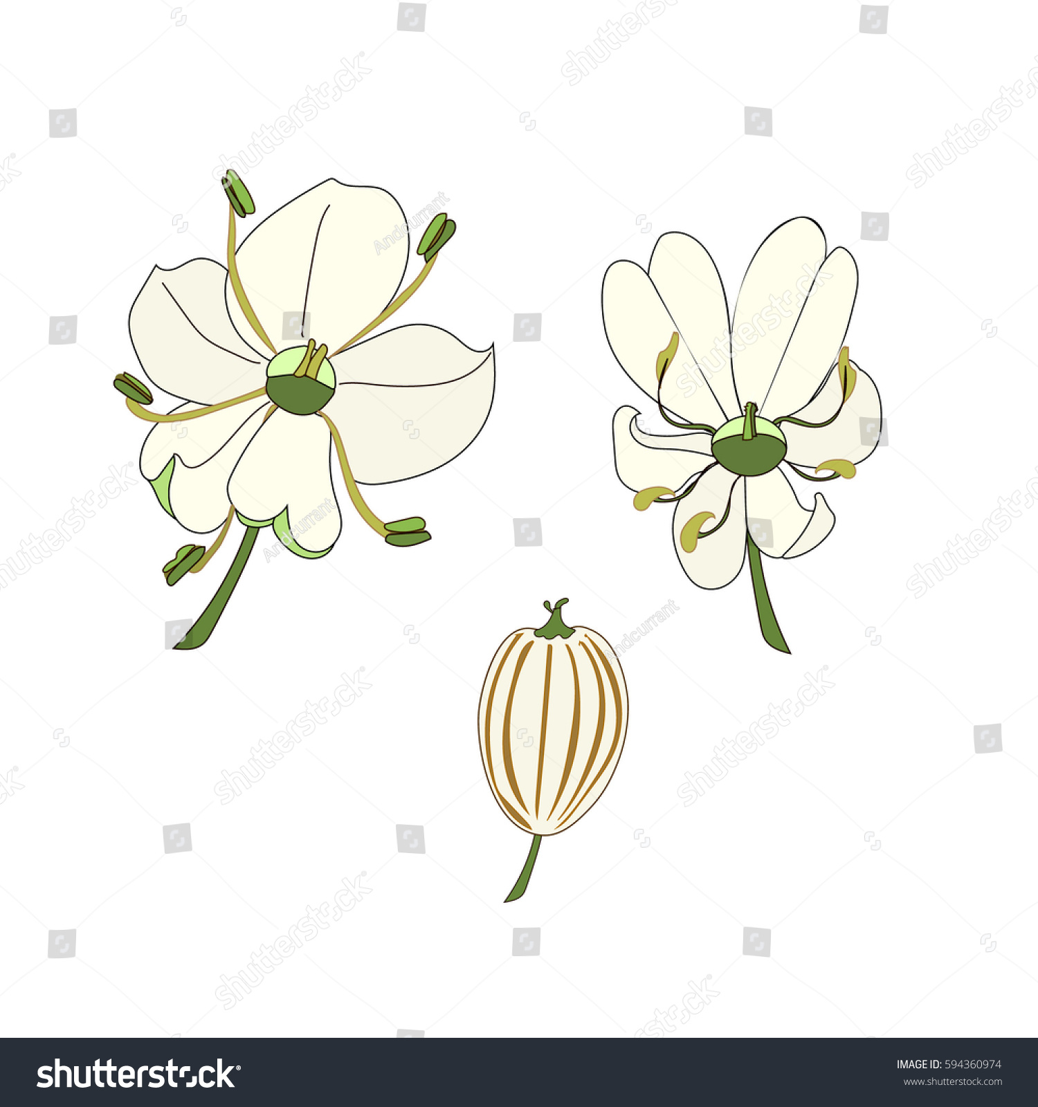 Flowers Anatomy Hogweed Heracleum Vector Hand Stock Vector 594360974 ...