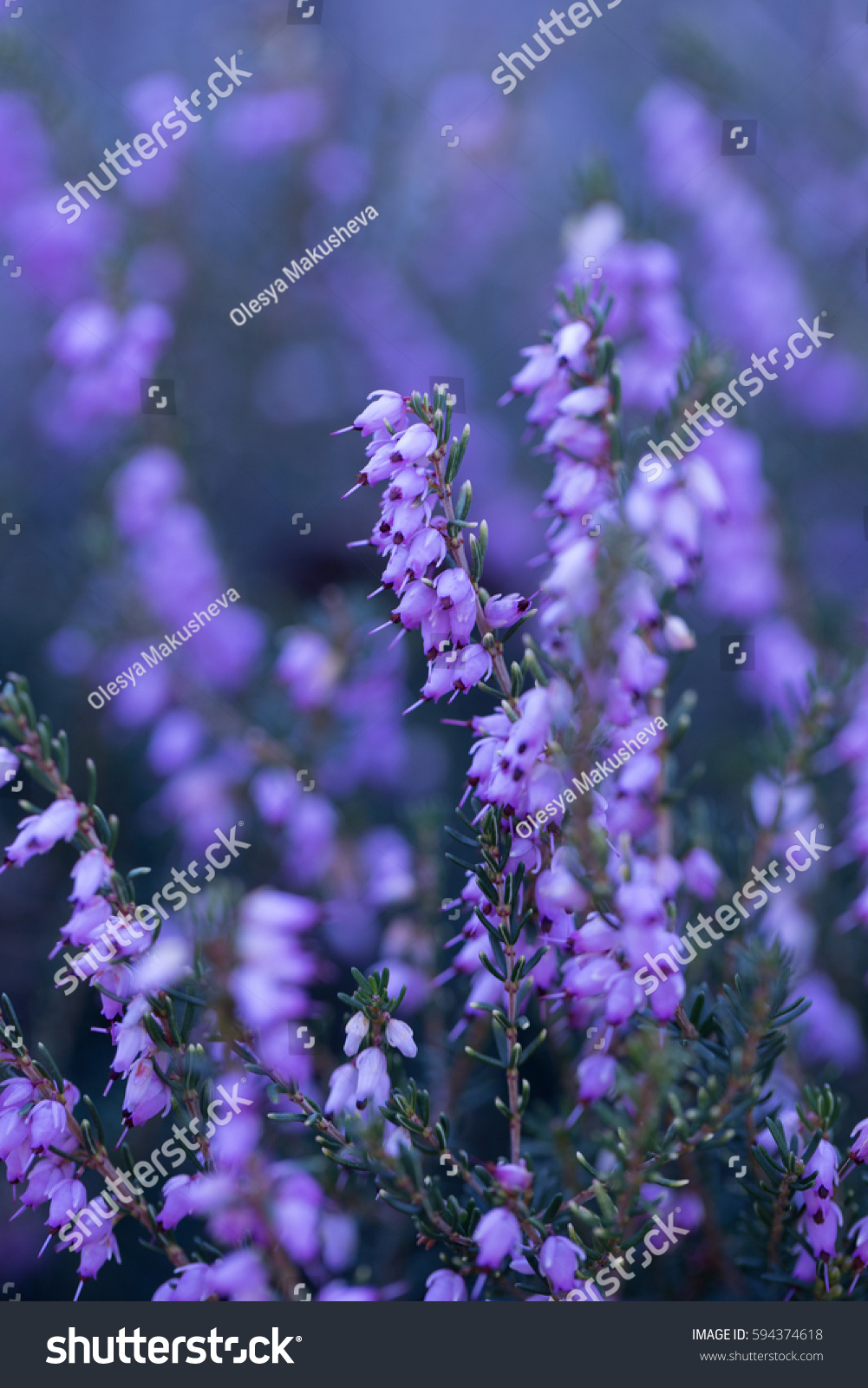 Purple Bell Flowers Stock Photo Edit Now 594374618 Shutterstock