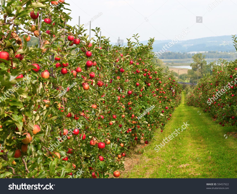 фото сада яблонь