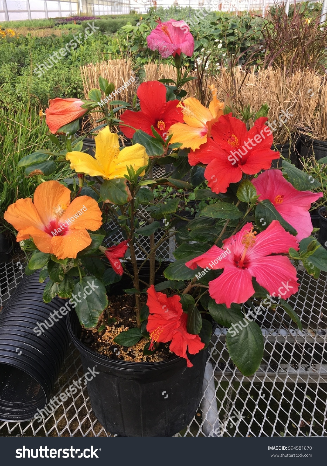 Multi Colored Hibiscus Sinensis Grafted Together Stock Photo ...