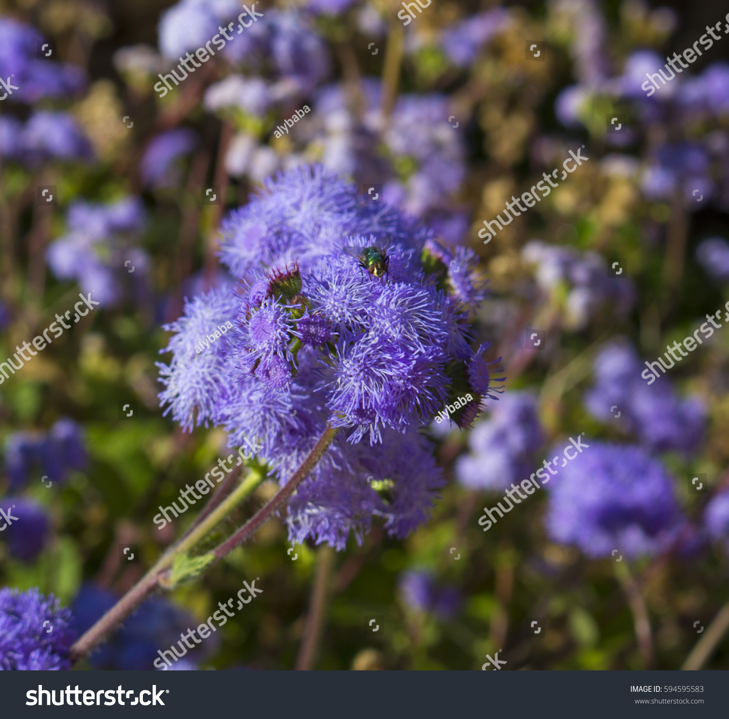 Ethereal Misty Powder Blue Flowers Perennial Stock Photo Royalty