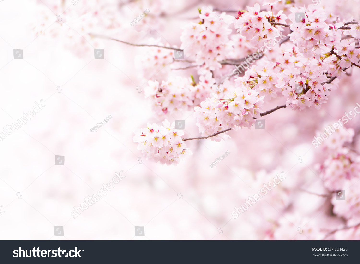 Cherry Blossom Full Bloom Cherry Flowers Stock Photo Royalty Free