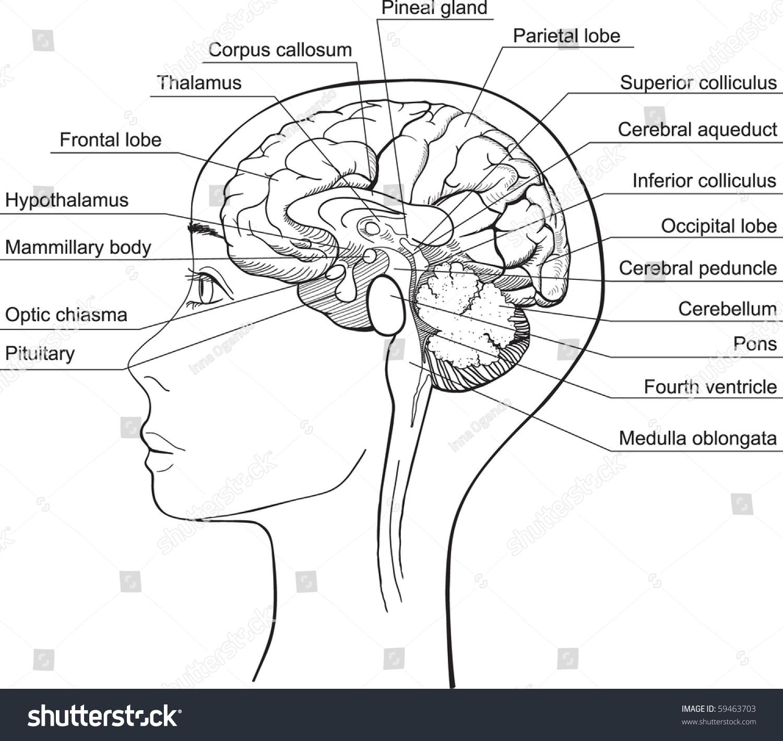 Midsagittal Section Human Brain Vector Stock Vektorgrafik