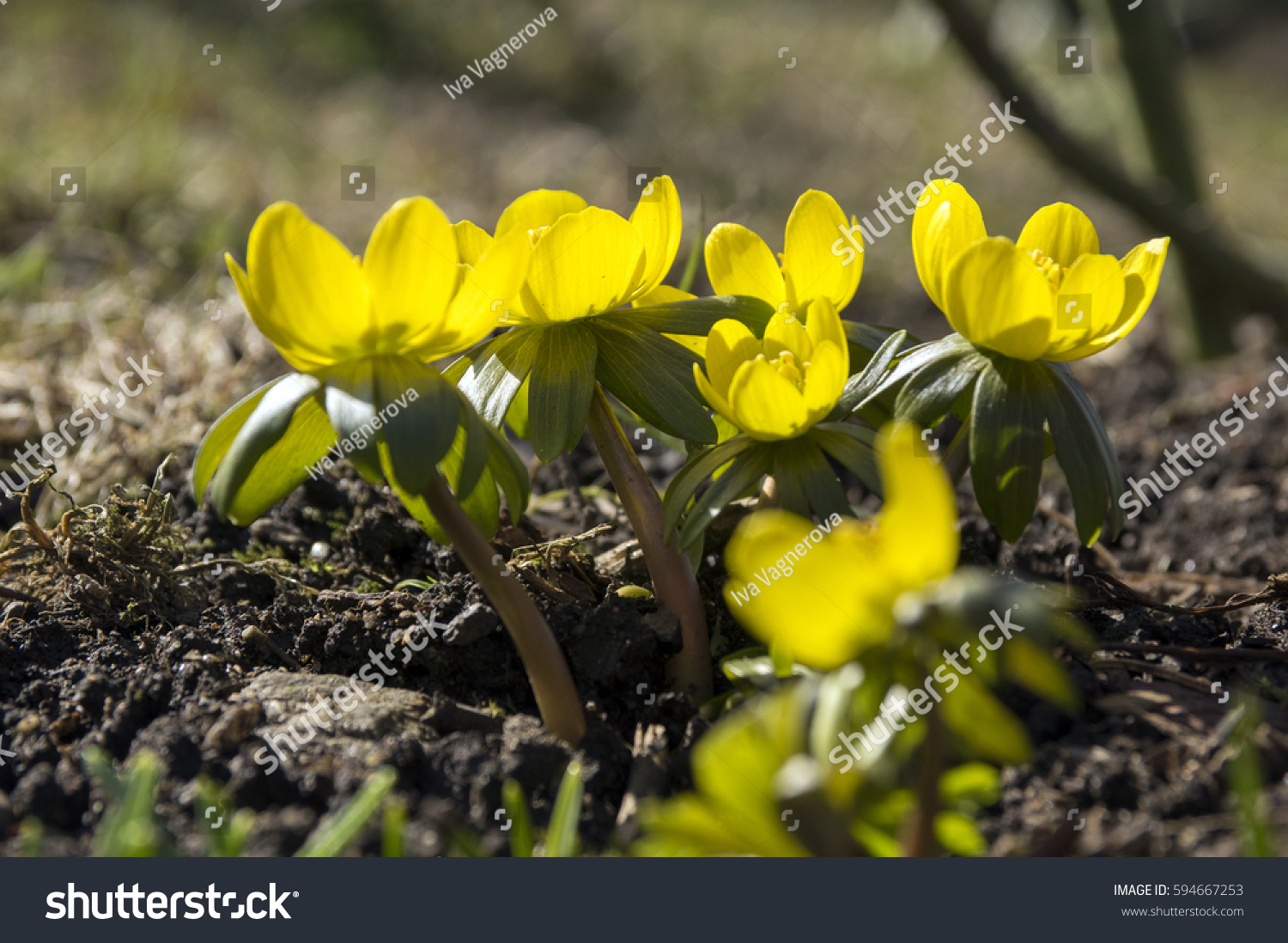 Eranthis Hyemalis Early Spring Flowers In Bloom Winter Aconite