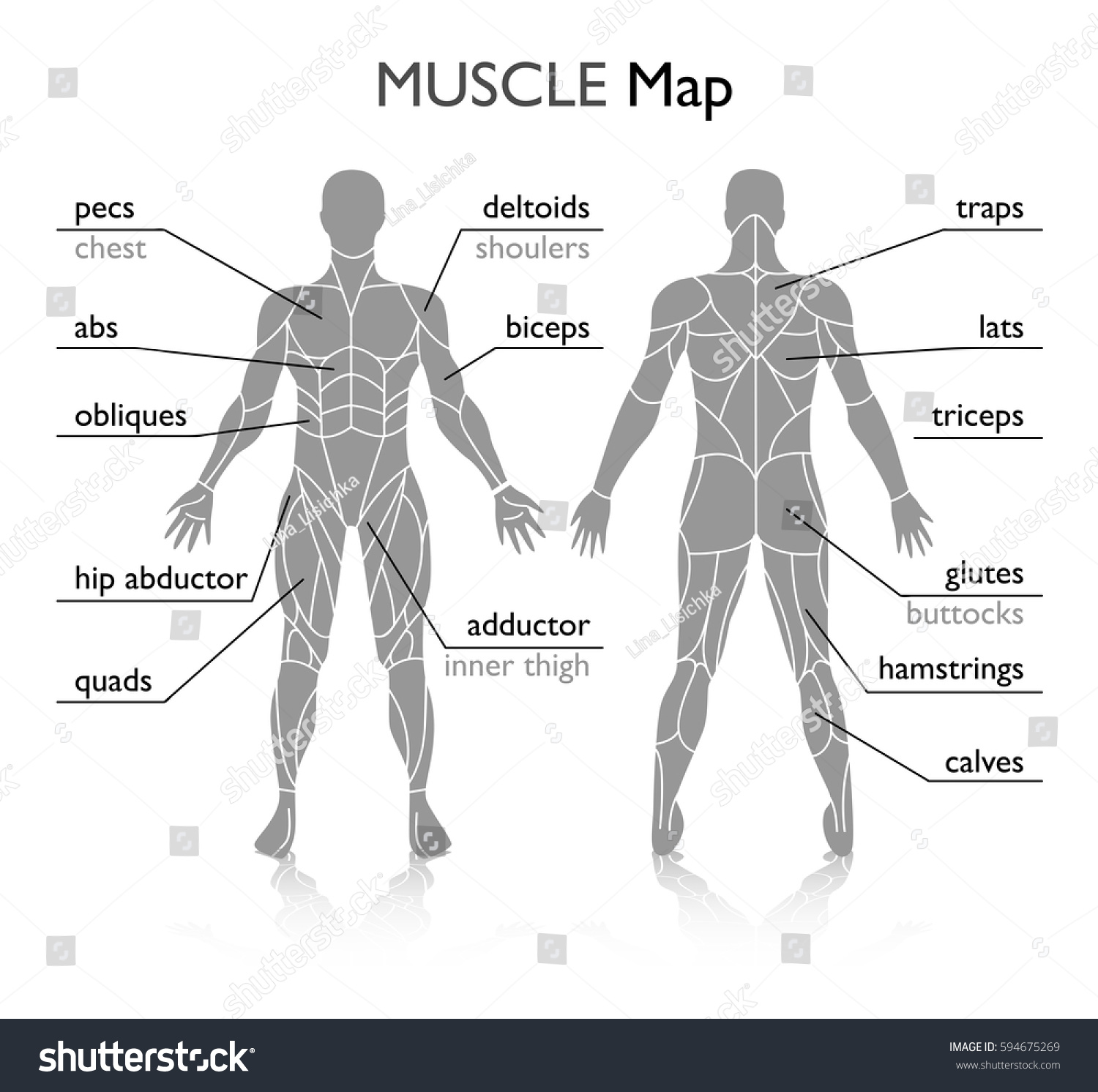 Muscles Body Vector Stock Vector Royalty Free 594675269 Shutterstock