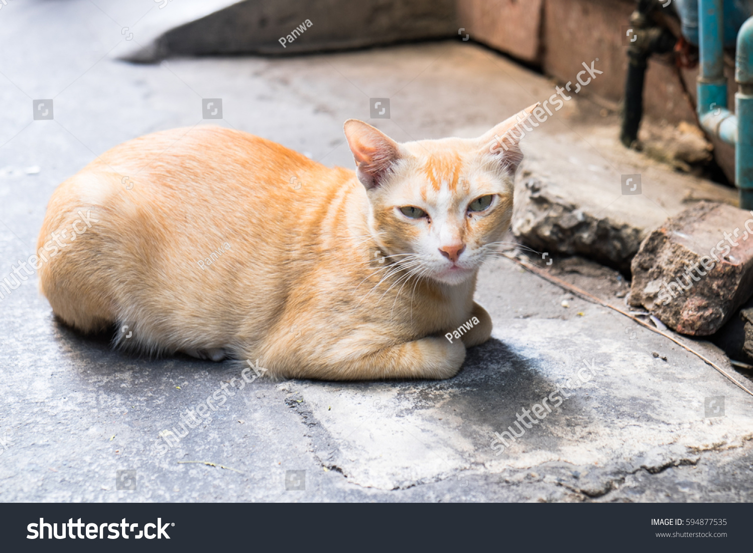 Cute Cat Lay Down Looking You Stock Shutterstock