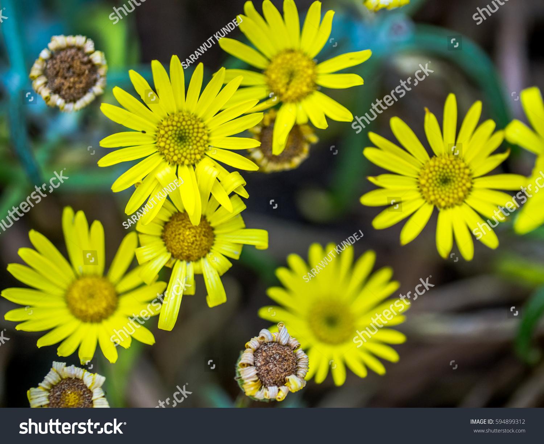 Beautiful Tiny Yellow Flowers Stock Photo Royalty Free 594899312