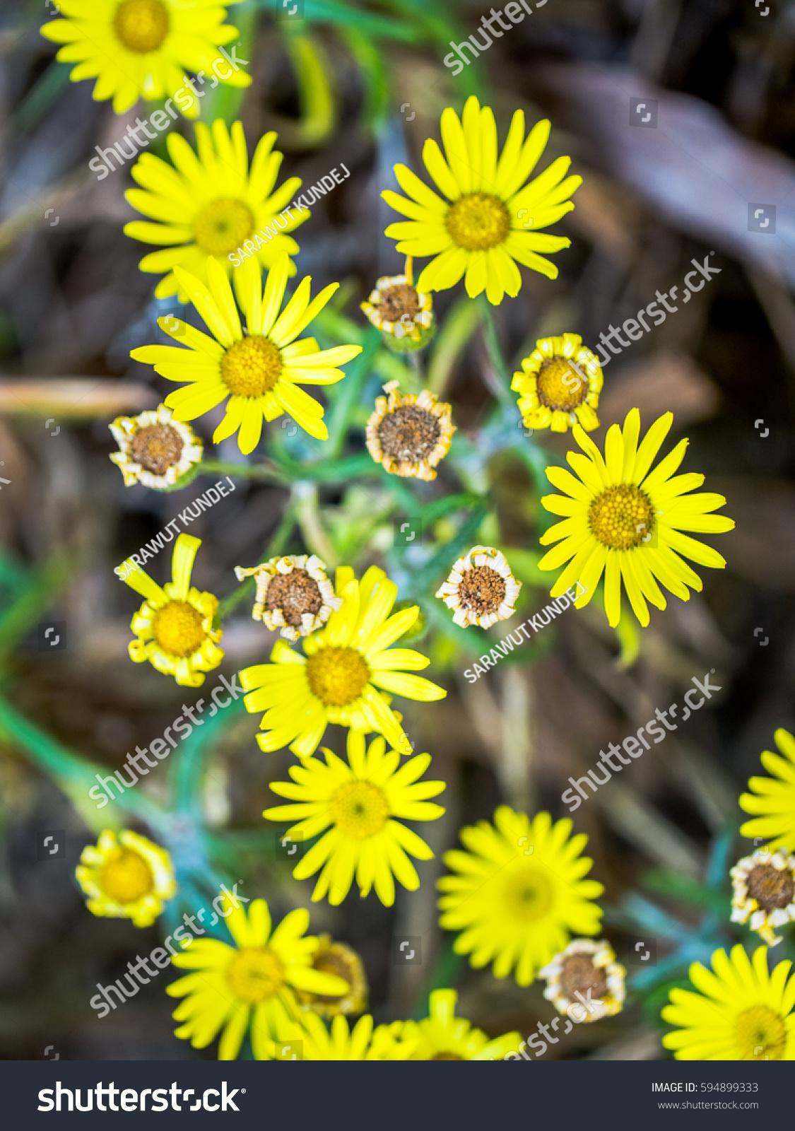 Beautiful Tiny Yellow Flowers Stock Photo Edit Now 594899333