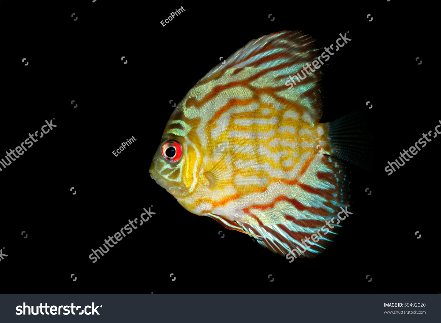 Underwater View Of A Colorful Blue Discus Fish Symphysodon Aequifasciata Stock Photo 59492020