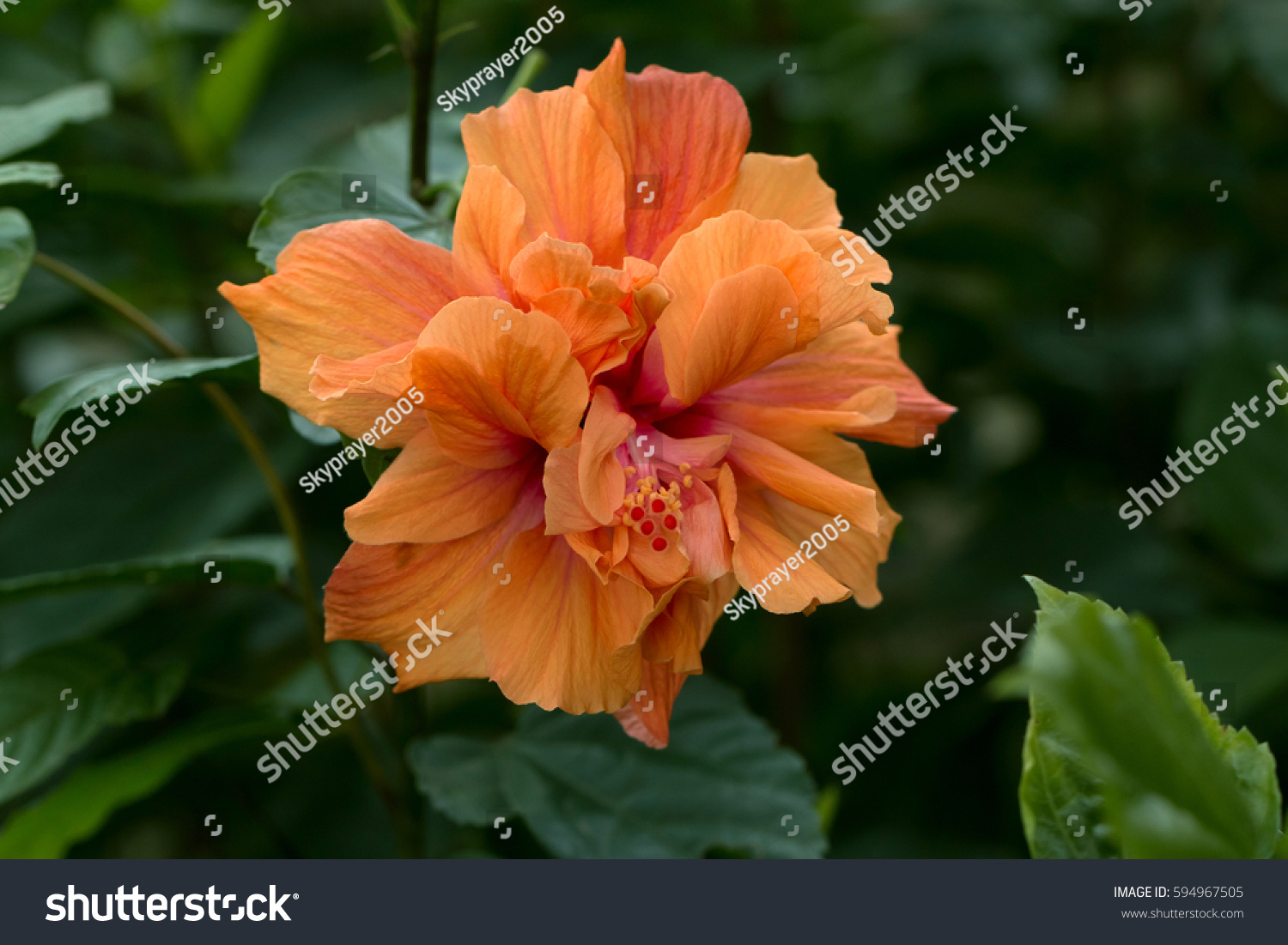 Orang Chinese Hibiscus Double Flower Blooming Hibiscus Stock Photo