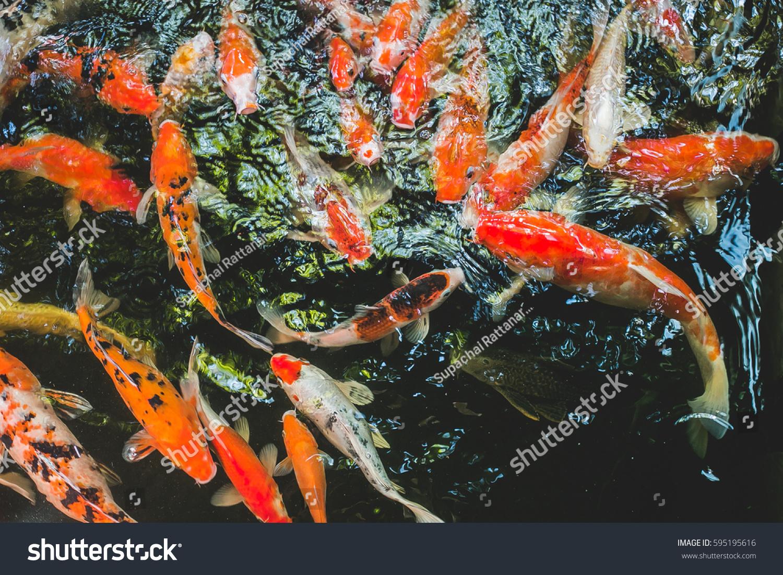 Colorful fancy carp fish koi fish stock photo 595195616 for Fancy koi fish