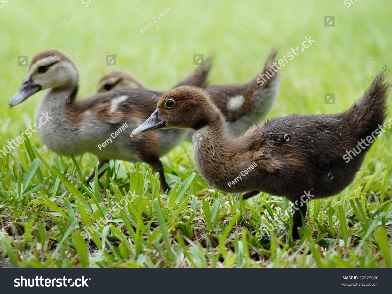 Baby Muscovy Ducks Walking Through Grass Stock Photo (Edit