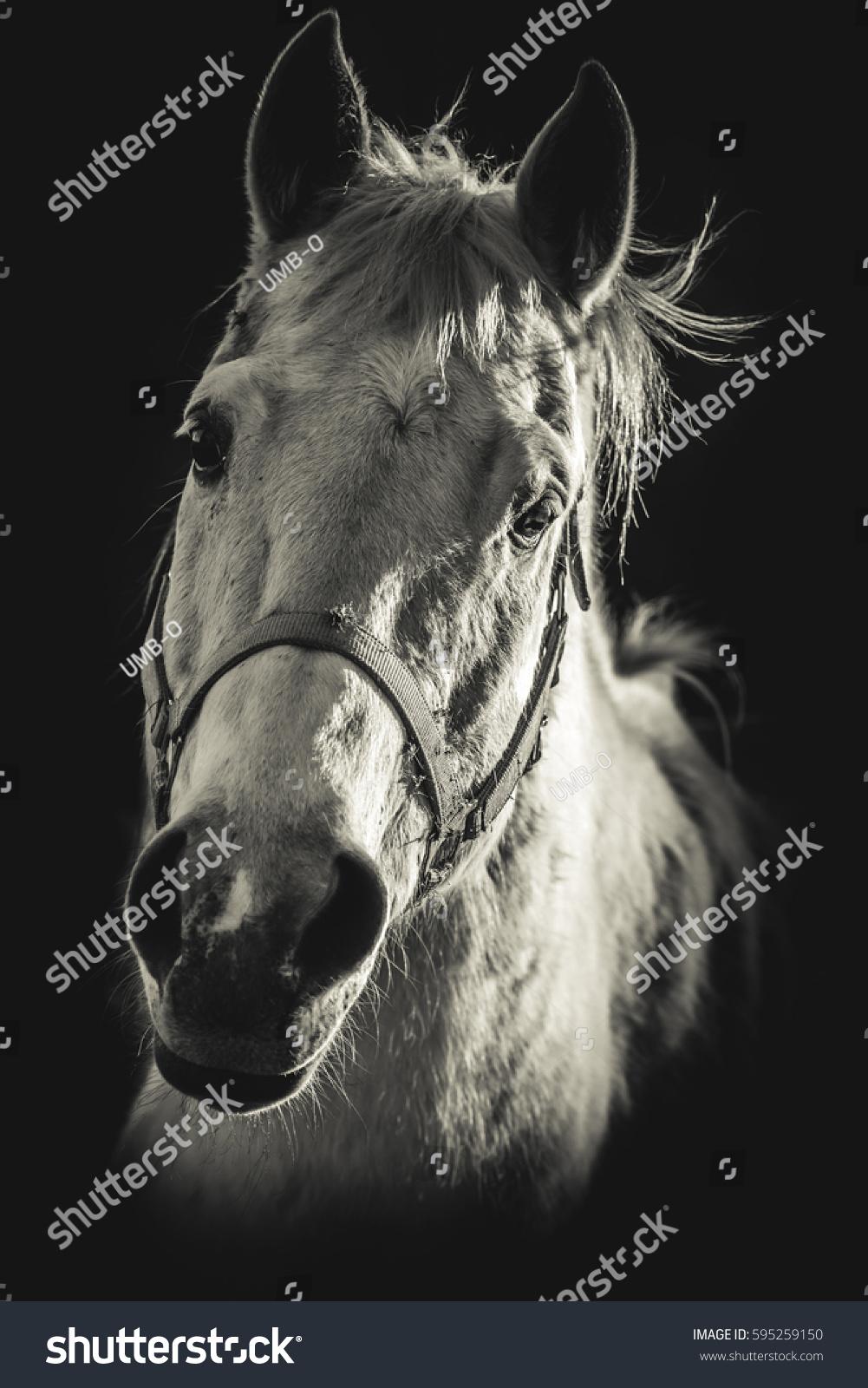 Horse portrait black and white photo