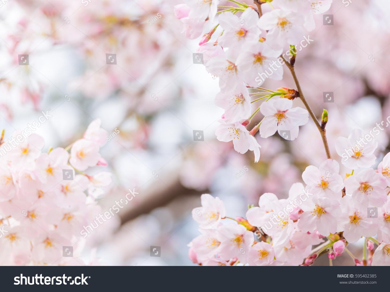Vintage Sweet Soft Tone Of Sakura Or Cherry Blossom Flower Full