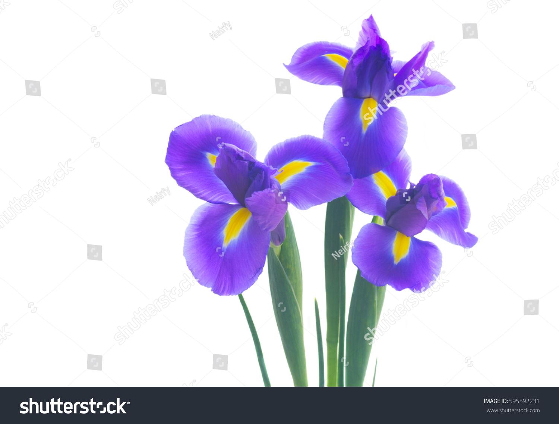 Three Blue Iris Flowers Isolated On White Background Ez Canvas