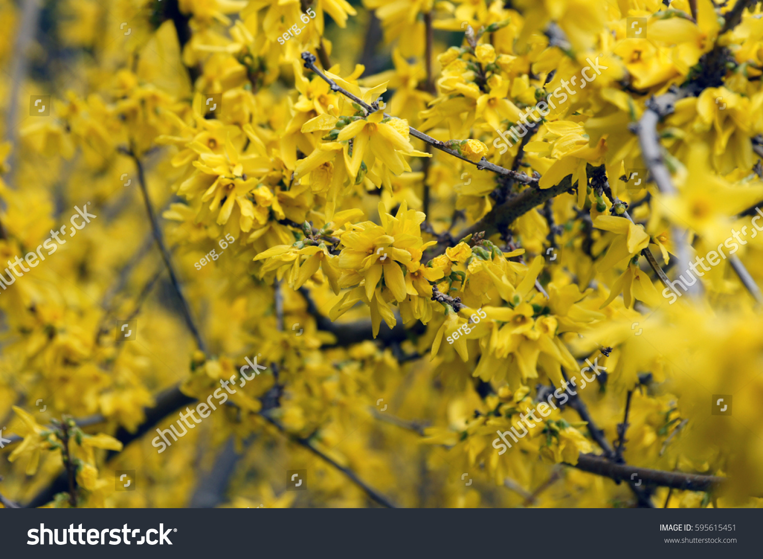 Yellow Flower Acacia Tree Branches Blooming Hello Spring Natural