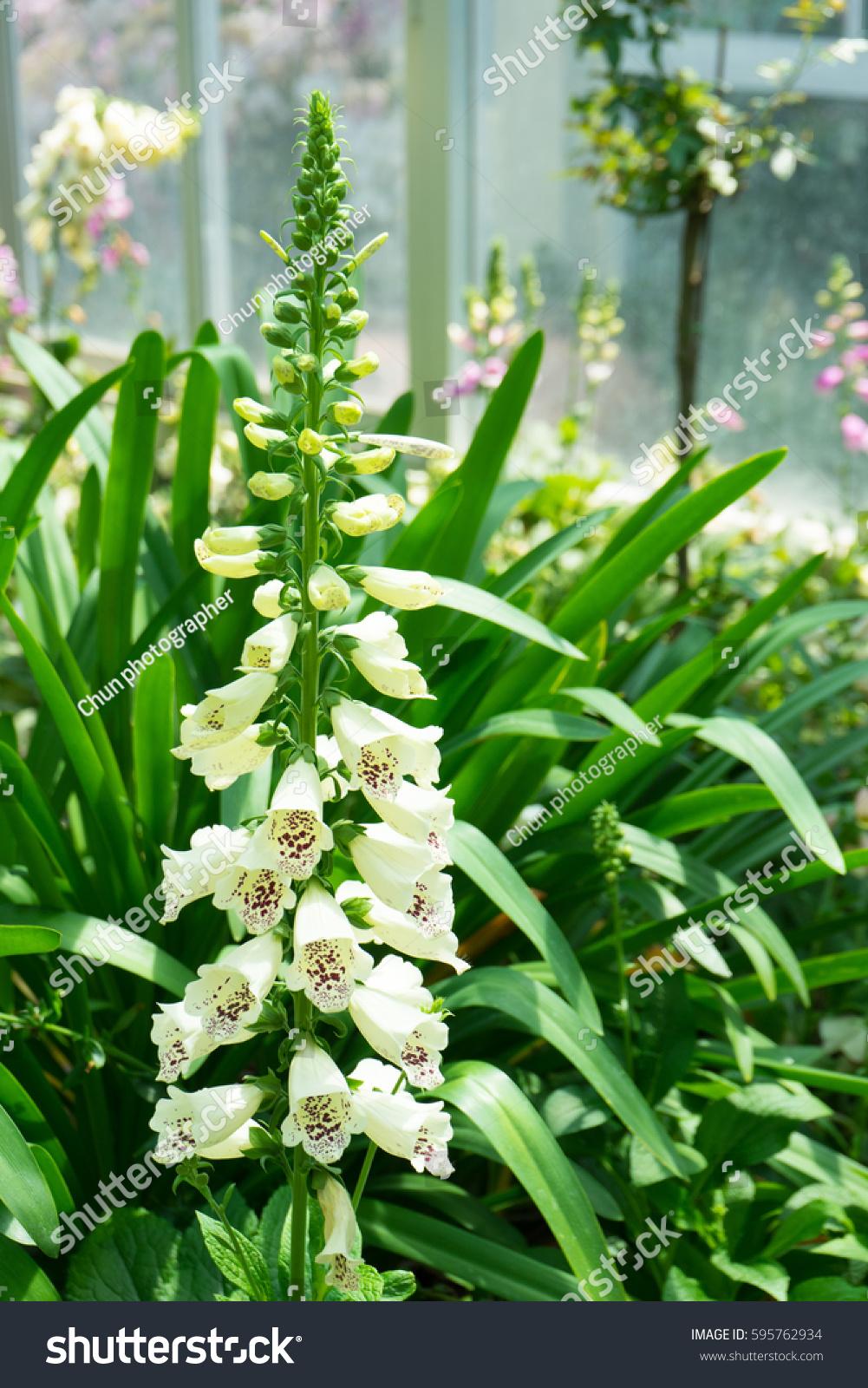 Dainty Tall Flower Spike White Foxglove Stock Photo Edit Now