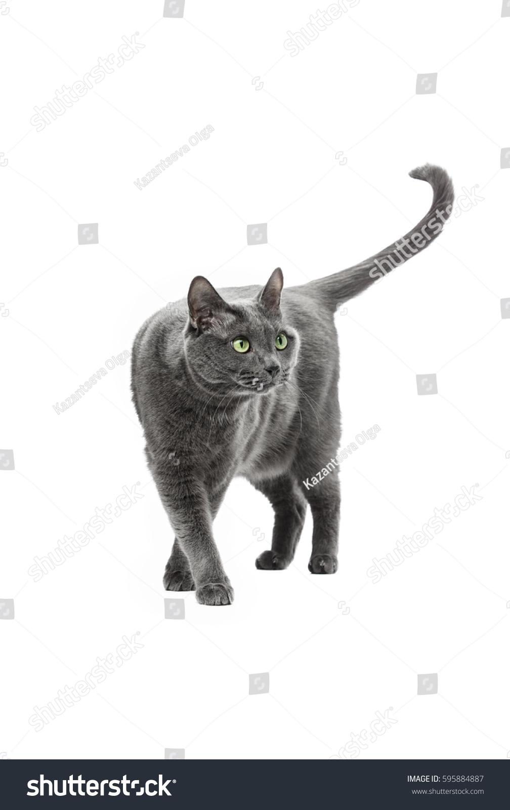 Beautiful Gray Cat Breeds Russian Blue Stock