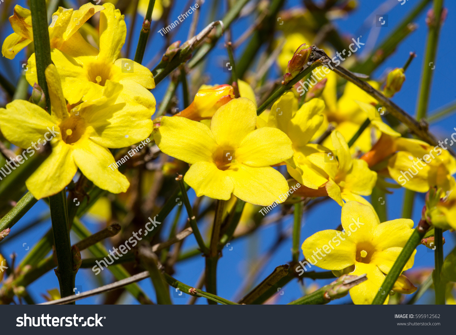 Yellow Winter Jasmine Flowers Against Blue Stock Photo Edit Now
