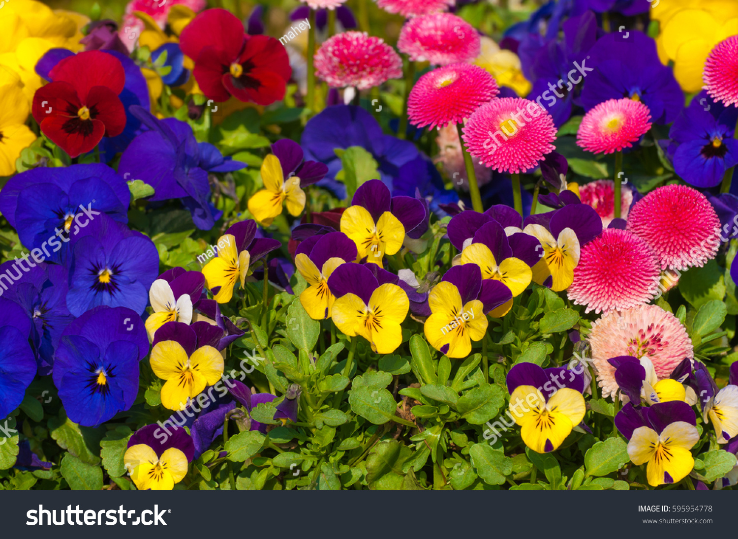 Mixture Spring Flowers Vibrant Colors Pansies Stock Photo Edit Now